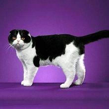 Скоттиш-фолд (Шотландская вислоухая кошка)