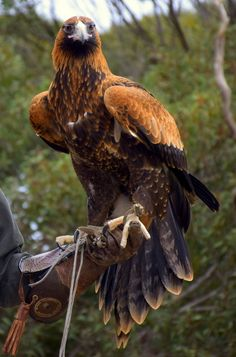 The majestic wedge-tail eagle. More than 260 bird species call Kangaroo Island home, and it is here that you have the unique opportunity to get up close and personal with Australia's most impressive birds of prey. Click through to post for more photos.