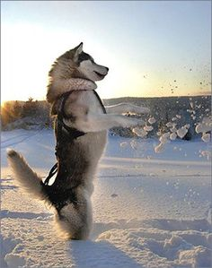 Alaskan malamute + snow!!!