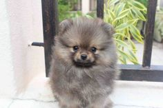 Sable Pomeranian Puppy Male