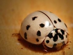 While this photo appears on a site displaying animals with albinism, the Ash Grey Ladybug is not an albino.