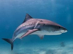 The tiger shark falls second to the great white on attacks towards humans. Though most attacks are not fatal, tiger sharks often dwell along shallow reefs, harbors, and canals, giving them many opportunities to encounter humans.