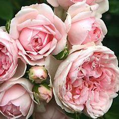 Cinderella®  Planter, der er gode naboer til rosen:  Den romantiske: Brudeslør, Gypsophila paniculata, staude med skyer af bittesmå, hvide blomster, perfekt til plantning mellem roserne.  Den søde: Bjergmynte, Calamintha nepeta ssp. nepeta, staude med tusindvis af bittesmå blegblå blomster hele sommeren. Plant den som kant eller mellem roserne.  Den yndefulde: Skabiose, Scabiosa caucasica, lang, fin og let staude, der bærer smukke lyseblå blomster.