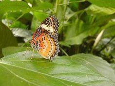 Πεταλούδα, Φύλλο, Πράσινο, Φύση
