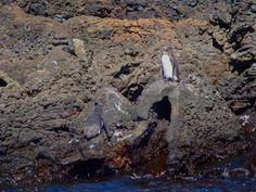 Galapagos tučniaky.
