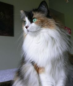 Calico Maine Coon Cat.
