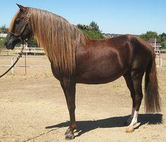 Peruvian paso Rare Horses, Wild Horses, Campolina, Dream Stables, Pet Dogs, Pets, Chestnut Horse, Andalusian Horse, Western Pleasure