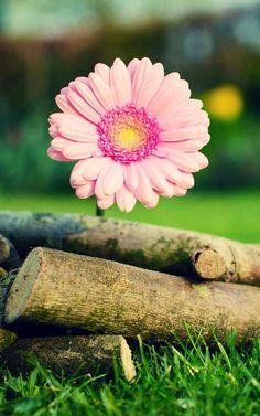 Gerbera daisy image via WallpapersHD