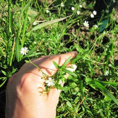 Chickweed aka Stellaria Media ~ CW is a wonderfully soothing herb, & is recommended for treating inflammations of many types, including burns, sunburns, itches & bites, bruises, splinters & sore eyes, including conjunctivitis (pinkeye)   _via  http://momprepares.com/4-wound-care-weeds/2/