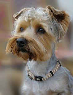 doggi portrait, puppi, yorki terrier