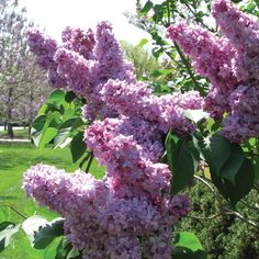 Lilac~ one of my very favorites...