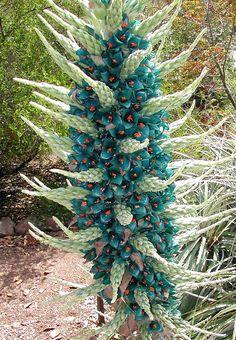 A Puya é uma planta que pode atinge uma altura de quatro metros, alcançando os doze metros quando produz o seu pendão floral ou inflorescê...