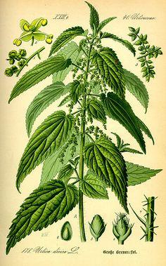 Urtica dioica, Stinging Nettle. Urtica dioica from Thomé, Flora von Deutschland, Österreich und der Schweiz 1885.