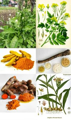 Bylinky, ktoré liečia reumu a artritídu a DNU-chorobu: OBKLADY a ZÁBALY: ✿ Chren, ✿ Horčica poľná, ✿ Kurkuma, ✿ Zázvor