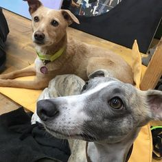Our friend @trotzki.thewhippet loves to make new friends and share his favorite #pattifurry travel bed. Well done Trotzki!