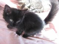 Chester is an adoptable Domestic Long Hair-Black Cat in New York, NY. It is tough to photograph a black, long-haired kitten! That said, Chester is a beautiful boy with light-green eyes and lush, dark...