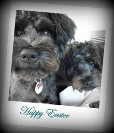 Aston (miniature Schnauzer) and Poppy (Schnoodle/toy poodle cross).