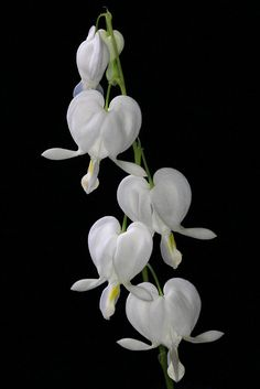White bleeding hearts (by cheryl.rose83)  ♥