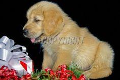 Golden Retriever Christmas Card By Forloveofdogs