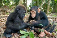 baby gorilla and baby chimp, bffs