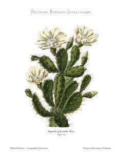 183702 Opuntia polyantha Haw. / Schumann, K.M., Gürke, M, Vaupel, F., Blühende Kakteen. Iconographia Cactacearum, vol. 2: t. 75 (1905-1910) [Toni Gürke]