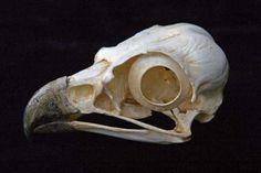 Osprey Skulls Replicas Models for sale at www.SkeletonsAndSkullsSuperstore.com