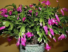 On pinterest christmas cactus cactus and christmas cactus care