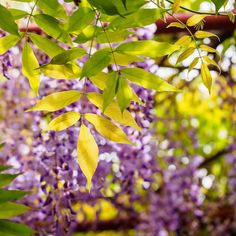 A wisteria with yellow leaves may be due to this natural occurrence or there might be a pest, disease or cultural problem. Investigate why do wisteria leaves turn yellow and find out what, if anything, to do about the issue in this article.