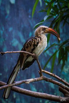 Red-billed Hornbill | Flickr - Photo Sharing!