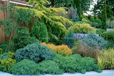 Fixing a problem site: Evergreen shrub garden on hill slope with Conifers, evergreens, ornamental grass in blue-walled raised garden in diff...