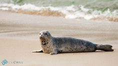 Harbor Seal in La Jolla Shores, California