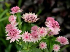 Astrantia Major, Compost, Plantar, Shade Garden, Permaculture, Garden Inspiration, Home And Garden, Backyard, Nature