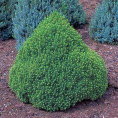 Picea glauca var. albertiana Globe - Alberta Spruce - Dobbies Garden Centres