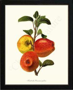 Vintage Apple Fruits Du Pommier Galeux Fruit Illustration. Framed Art Giclee Print, $89.95.