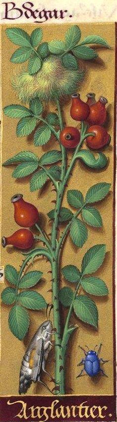 Arglantier - Bdegar (Rosa canina L. = fruits de l'églantier) -- Grandes Heures d'Anne de Bretagne, BNF, Ms Latin 9474, 1503-1508, f°123r