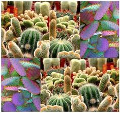 20 CACTUS MIX Seeds Parodia Melocactus C. Giganteus & RARE MIX premium varieties by MySeeds.Co. $1.00. This Order = 20 Seeds ~!!. S&H is a FLAT RATE NO MATTER HOW MUCH YOU ORDER FROM US ~!!. www.amazon.com/gp/product/B00AXBG2OE. ~~ OVER 1,000+ VARIETIES & EXPANDING TO CHOOSE FROM ~~!!. Click or Copy & Paste Link Below For Bulk Order. ~ ~ ~ WE OFFER BOTH PKT. & BULK SIZES ~ ~ ~ Perfect for Greenhouse and for sales ~~!! This premium cactus seed mix includes various species, incl...
