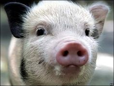 Please give this little  pig the best of care , lots of space and love. Even if it grows to over 100s of lbs.