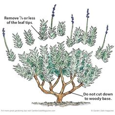 Clean up lavender   Garden Gate eNotes: Only remove a third of the leafy growth. Cutting too late in the season, back to bare woody stems or removing too much foliage stresses the plant and often kills it.