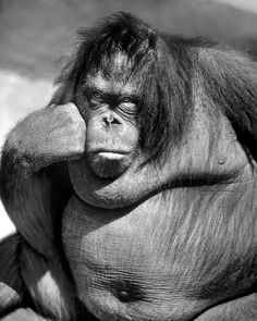 Sandra the orangutan in deep thought at the Bronx Zoo, circa 1977. (Nina Leen—The LIFE Picture Collection/Getty Images) #wildlifewednesday #BronxZoo #Orangutans