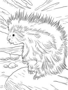 Cute North American Porcupine Coloring Page From Porcupines Category Select 30181 Printable Crafts Of Cartoons Nature Animals Bible And Many More