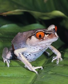 Frog Pics, Frog Pictures, Cute Pictures, Chameleons, Lizards, Snakes, Madagascar, Blood In Water, Amazing Frog