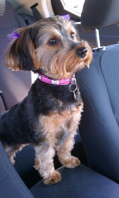 YORKIE POO she is a boss...  OMG its Corbin made over, only a girl...  :)