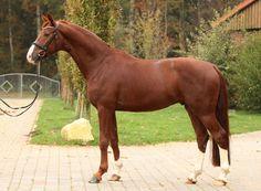 Stanwood, Gelding - German Horse Center Cute Horses, Horse Love, Beautiful Horses, Animals Beautiful, Warmblood Horses, Saving Grace, Horse World, Show Jumping, Horse Pictures