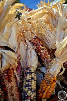 Maize - indian corn