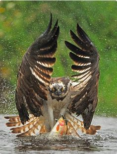 Osprey catching its meal, an unsuspecting rainbow trout. Amazing photography by Bill Doherty on 500px.