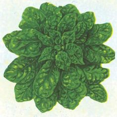 Bloomsdale Long Standing Spinach- 50 days (Baker)