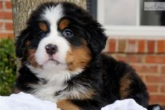 mini bernese mountain dog poodle