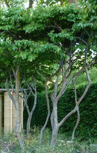 Parrotia persica or Persian Ironwood tree. Trees And Shrubs, Trees To Plant, Garden Trees, Garden Plants, Ironwood Tree, Judas Tree, Betula Pendula, Tree Surgeons, Fast Growing Trees