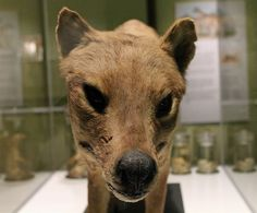The thylacine has its own exhibit space, featuring information and relics of the special Tasmanian animal (ABC Local: Carol Raabus)