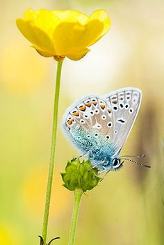 Common Blue butterfly on a meadow buttercup